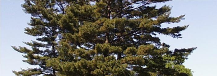 Freeman Eastern White Pine